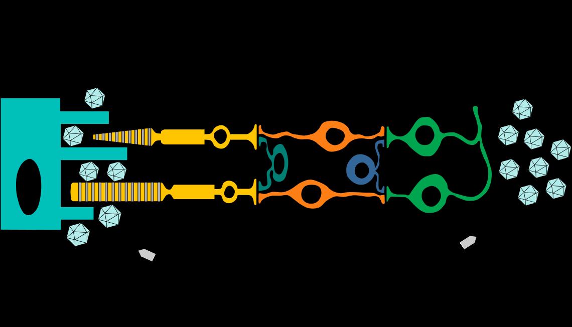 Schematische Darstellung der Netzhaut und des Expressionsmusters von retinalen Genen. Gene, für die sich Gentherapieansätze in der klinischen Prüfung befinden, sind fett gedruckt. RPE: retinales Pigmentepithel.