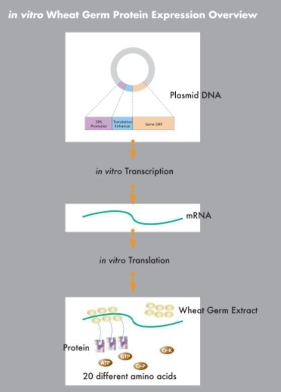 Abnova wheat germ protein production